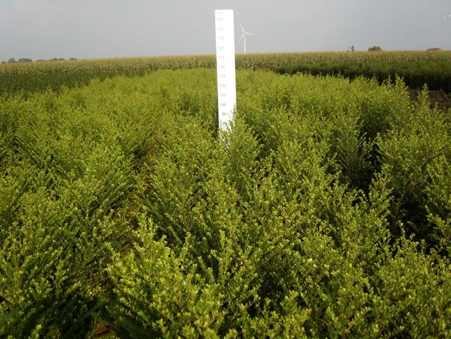 Ilex crenata 'Green Hedge' kl 40/60/80
