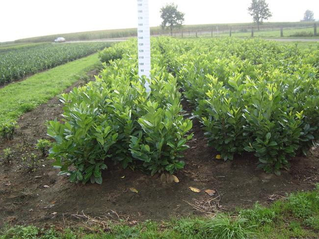 Prunus L. Rotundifolia kl 80/100