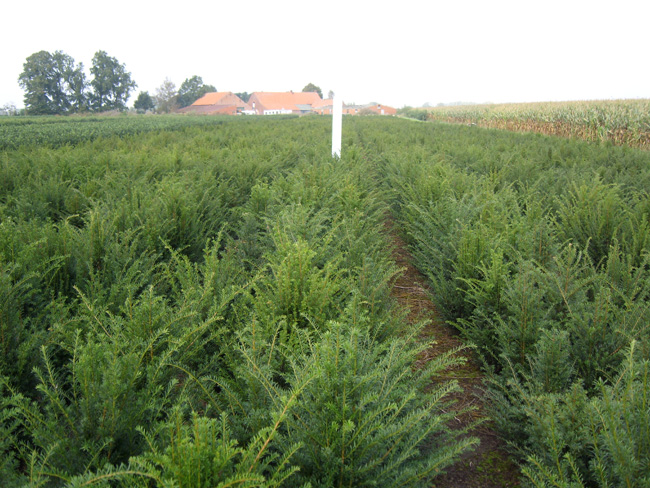 Taxus baccata kl 60/80/100