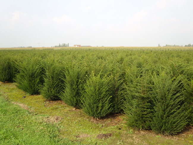 Taxus baccata  kl 80/100/125