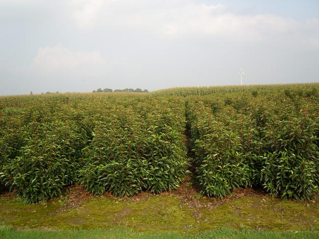 Prunus Lusitanica kluit 60/80/100